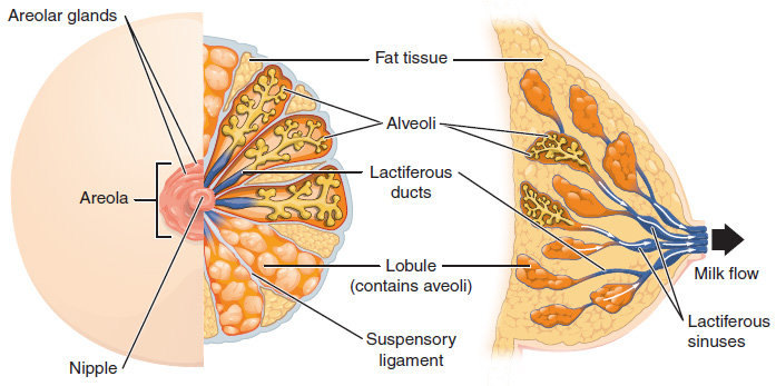 Breast anatomy for how breast milk is made